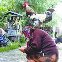 Росія знову хоче бачити в себе українську курятину. Проте вітчизняні птахівники не поспішають робити особливий акцент на «заполітизованому» ринку