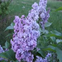Ох  цей ароматний, прекрасний квітучий бузок!