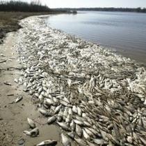 Державні інспектори-екологи б'ють тривогу: у Харківської області стався масовий мор риби