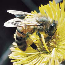 На Харківщині масово гинуть бджоли. Їм шкодить хімія та технічний прогрес