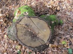 В олексіївському лісі невідомі особи обдирають кору навколо стовбурів і вирубують цінні породи дерев