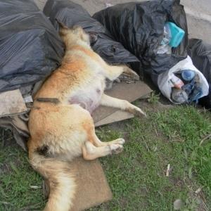 отруєння собак
