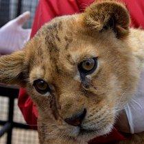 """Довгі та добрі """"лапи"""" друзів тварин: кожний лев має право на Африку"""