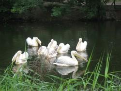 До дня народження Харківського зоопарка його пелікани отримали 300 метрів нового житла