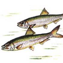 У Дніпрі знову розпочався масовий мор риби
