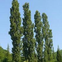 Першу пухоносну тополю у Харкові зрубають у листопаді