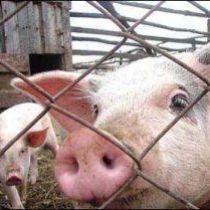 свиня за гратами