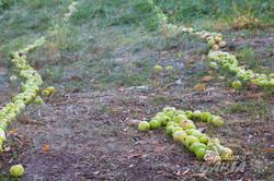 «ApPleinAir»: яблуко як їжа, мистецтво і філософія