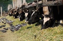 У Харківській області вирізають велику рогату худобу
