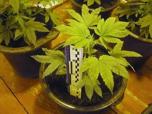 Затримано харків'янина, який обробив плантацію конопель (фото)