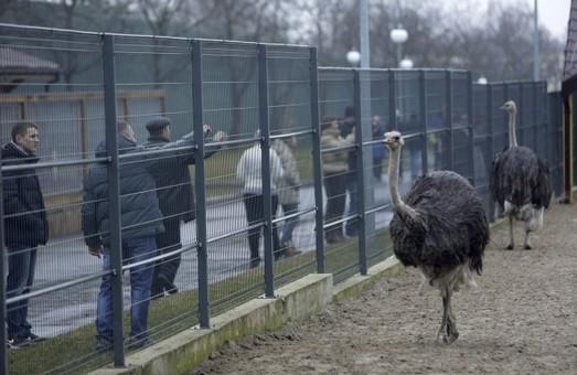 Чи можуть розмножуватися страуси без Януковича?