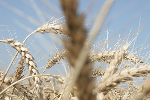 більше 1 млн тонн хліба намолотили на харківщині