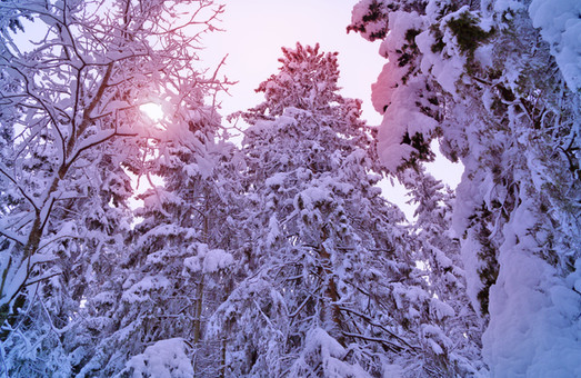 В Чернігівській області були затримані браконьєри під час вирубки сосен