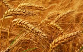 В Аргентині збільшили експорт пшениці на 57%