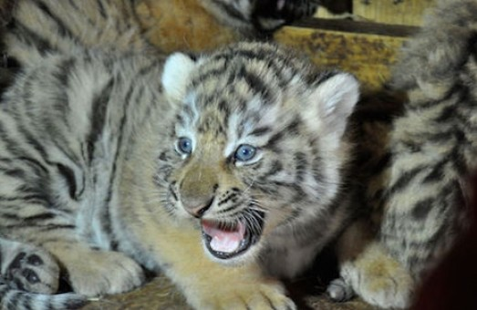 Амурська тигриця Даліла стала мамою