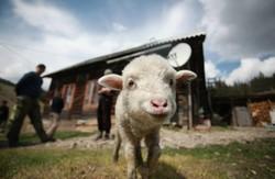Українських молочарів будуть тренувати нідерландці