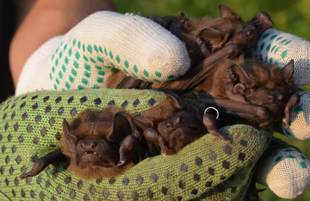 Під Харковом знайшли велетенських кажанів (фото)