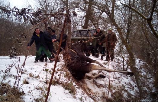 На Сіверському Донці ДСНСники та місцеві жителі врятували лося (ФОТО)