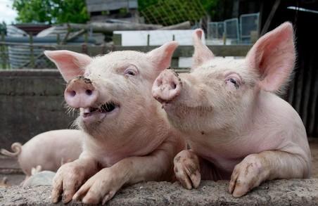 На Харківщині виявлено африканську чуму свиней
