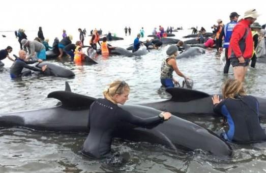 У Новій Зеландії на берег викинулися чотири сотні китів / ВІДЕО