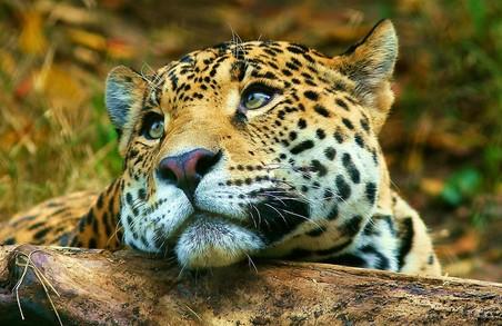 Харків'янам покажуть леопардів з Амуру