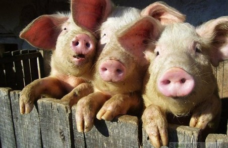 """Селяни, постраждавшие від """"свинячої чумки"""", отримають 1,4 млн. грн.компенсації"""