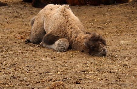 У Харківському зоопарку народилося верблюденя / ФОТО