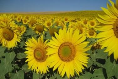 Найбільш прибутковою справою в Україні є вирощування соняшнику
