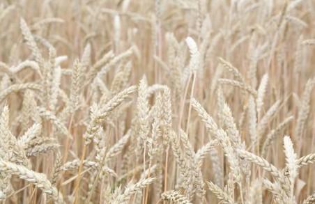 На Харківщині зібрано рекордний урожай озимої пшениці