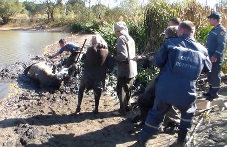 Рятуючи рідну корову, селянка мало сама не потонула у болоті/ Фото