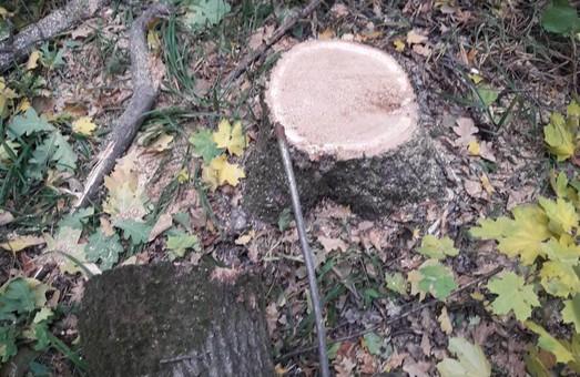 Мешканця райцентру спіймали на порубці дубів