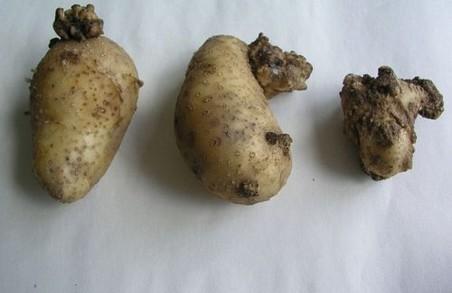До України знову прийшов рак картоплі