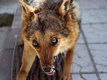 Скажені лисиці заполонили Шевченківський район