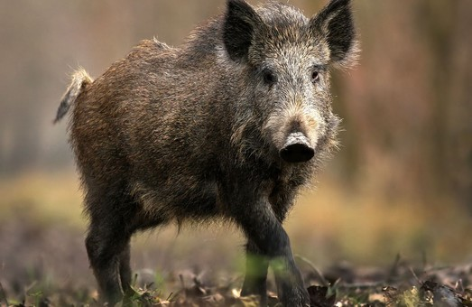 На Харківщині був зафіксований новий спалах африканської чуми свиней