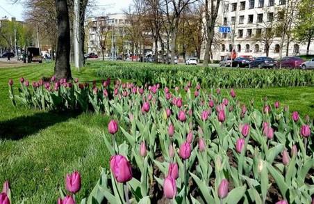 У Харкові вперше за 30 років висадять тюльпани