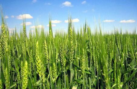 На Харківщині слід очікувати на хороший врожай озимих культур