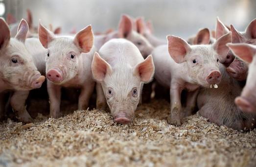Під Харковом виявили спалах африканської чуми свиней