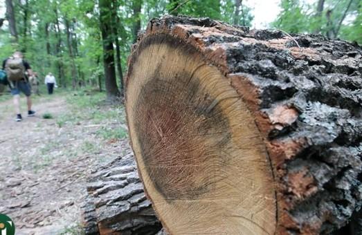 Чорним лісорубам, що знищували дерева на території університету оголошено підозру