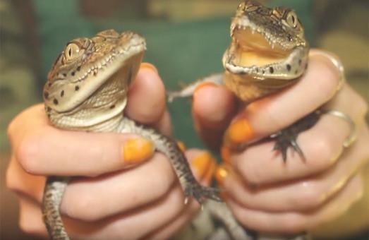 Харківський зоопарк обміняв крокодилів на варанів (ВІДЕО)