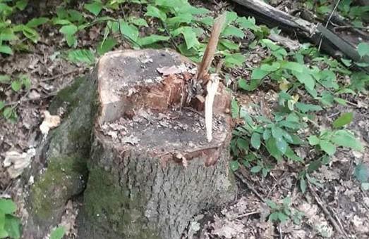 Брудні справи Сиси знайшли своїх продовжувачів: в Золочівському лісництві незаконний поруб (ФОТО)