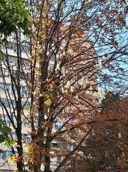 У Харкові знову цвітуть каштани (ФОТО)
